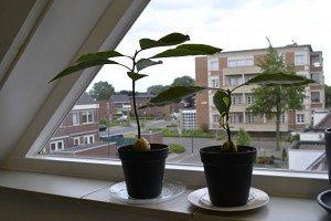 avocado plant na twee maanden